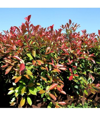 PHOTINIA RED ROBIN PROMO